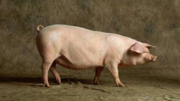 Człowiek to świnia