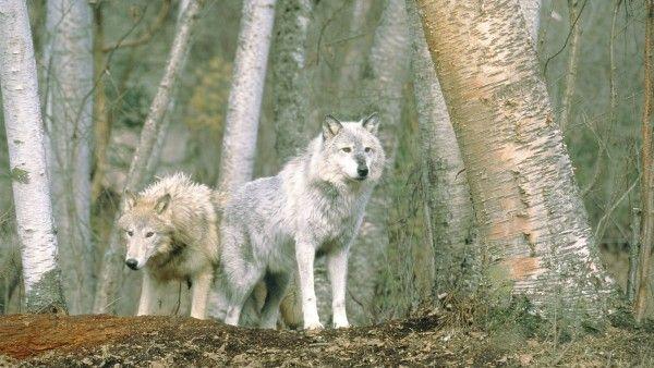 Karma dla wilka
